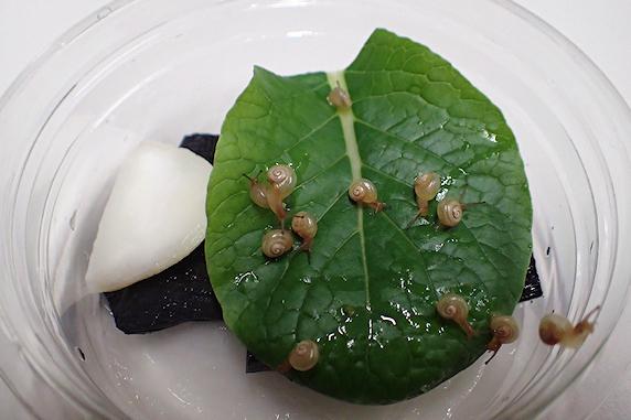 ひと巻き成長カタツムリ