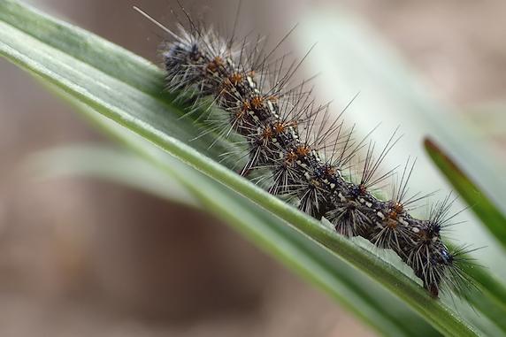 クワゴマダラヒトリの幼虫もいます