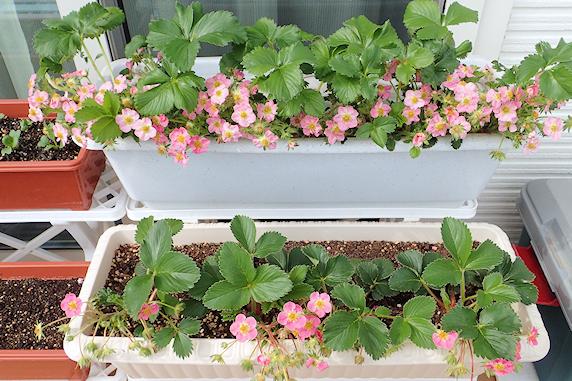 開花と発芽のベランダ菜園