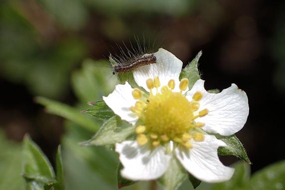 ワイルドストロベリーの花を食べるマイマイガの1齢幼虫