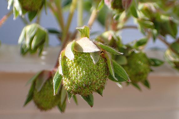 四季なりイチゴの実がふくらむ