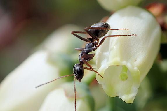 花の蜜をなめるアリ