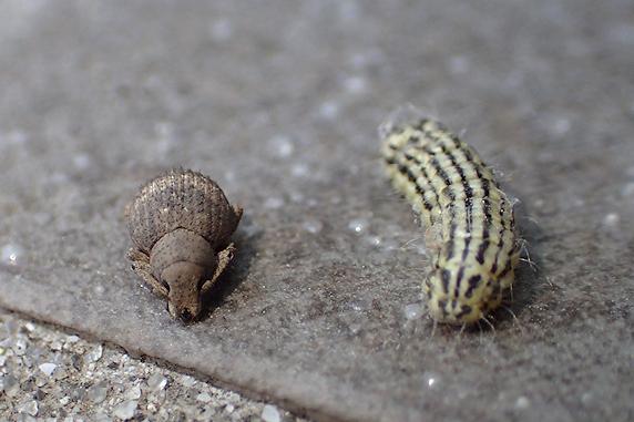 ビオラとミノウスバの幼虫とチビメナガゾウムシ