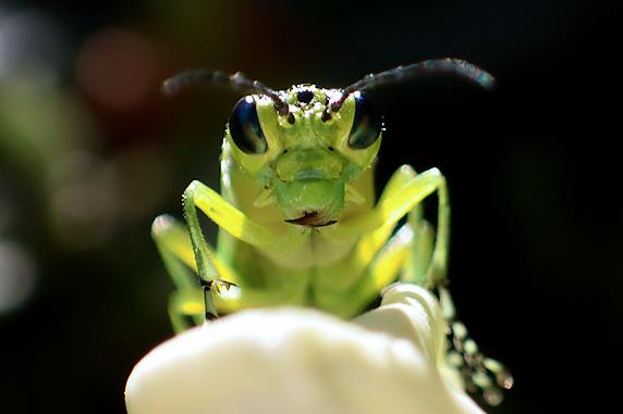 若葉色のクロムネアオハバチ