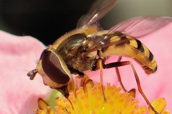 花粉をなめるフタホシヒラタアブ