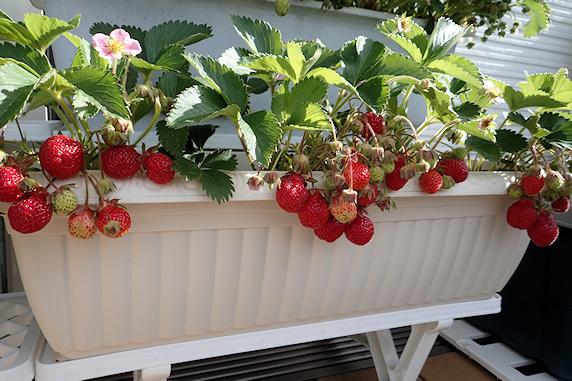 小松菜と四季なりイチゴの収穫