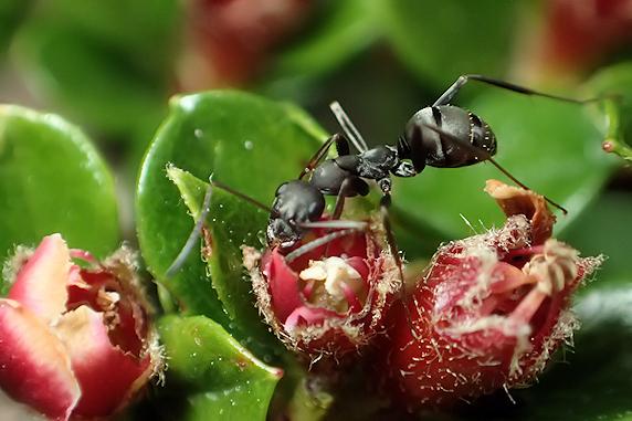 ベニシタンの蜜を吸うクロヤマアリ