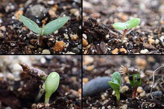 発芽確認、野原風花壇