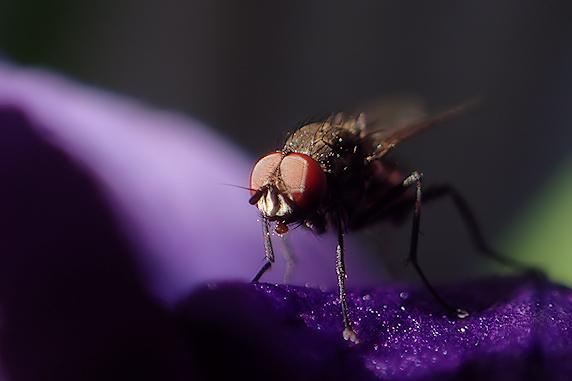紫だちたるハエ