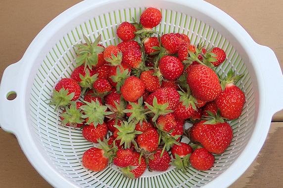 四季なりイチゴとミックスレタスの収穫