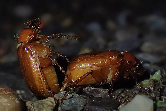 繁殖期のナガチャコガネ