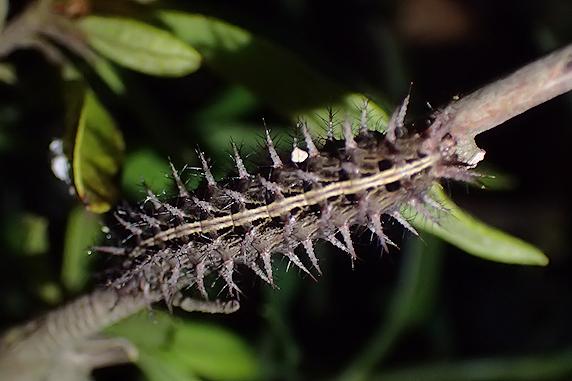 ウラギンスジヒョウモンの幼虫