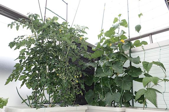 ミニトマトの花房の若返り
