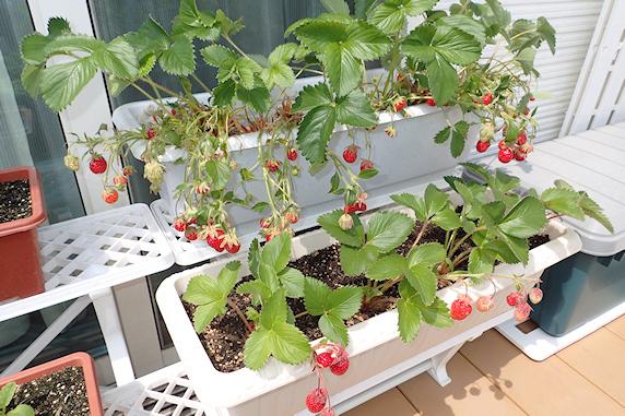 四季なりイチゴとキュウリの収穫