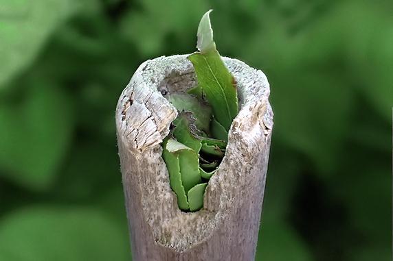 竹に巣作りをするハキリバチ