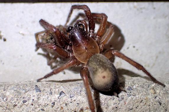メガネヤチグモの捕食