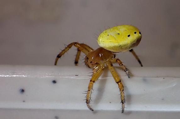 レモン色できれいなムツボシオニグモ