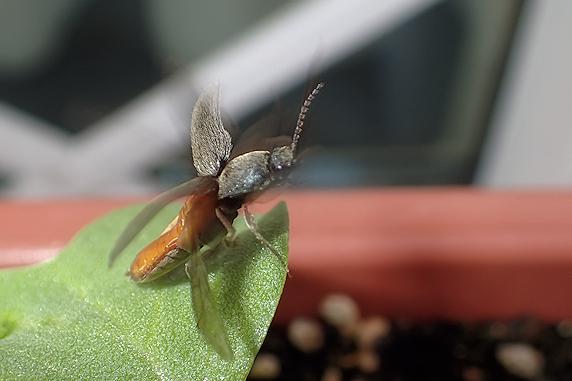 飛ぶコメツキムシ