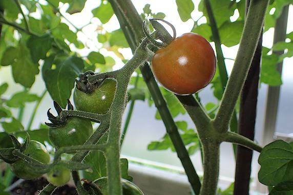 逆光のキュウリと赤いミニトマト