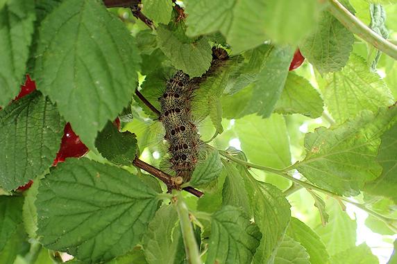マイマイガの終齢幼虫を確保