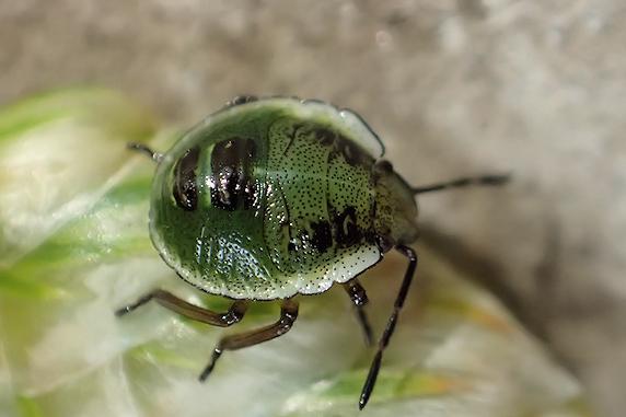 カメムシ幼虫の正体が判明