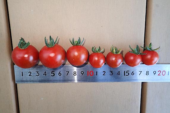 ミニトマトの収穫と赤紫蘇の状況