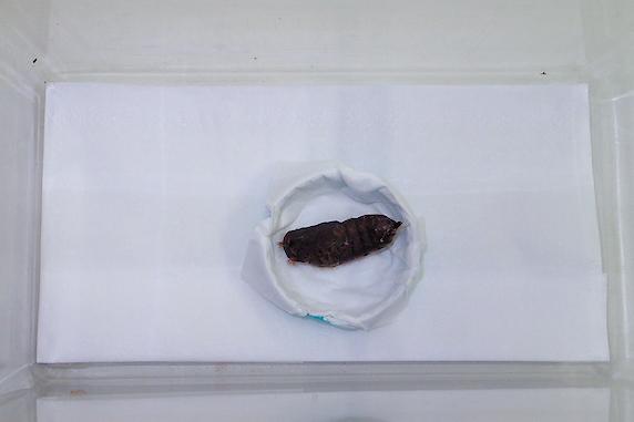 マイマイガの幼虫がサナギに