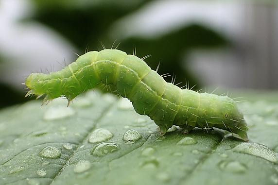 ミニ大根の葉にウワバの幼虫がいた