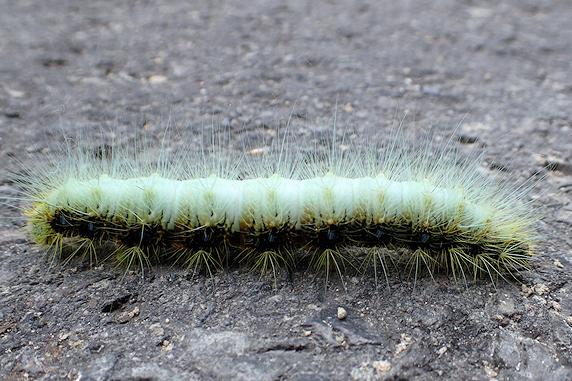 クスサン幼虫10cm