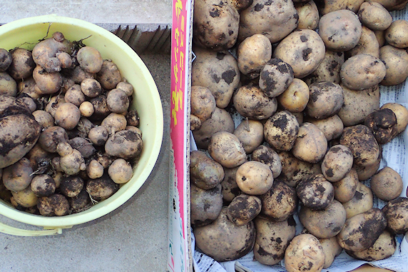 ミニトマトなどを収穫