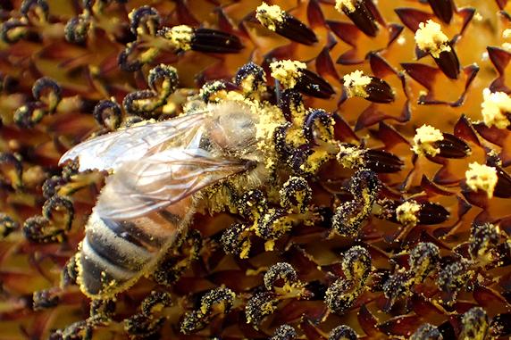 大輪ヒマワリにミツバチお立ち寄り