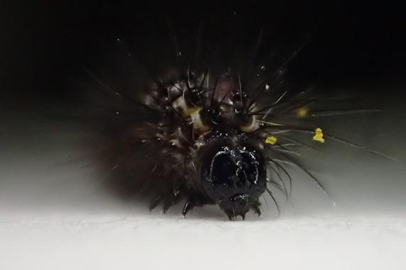 ヒマワリの葉を食べていた幼虫