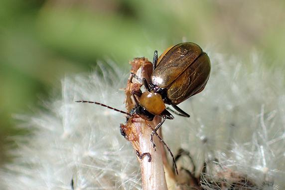 産卵期のウリハムシモドキ