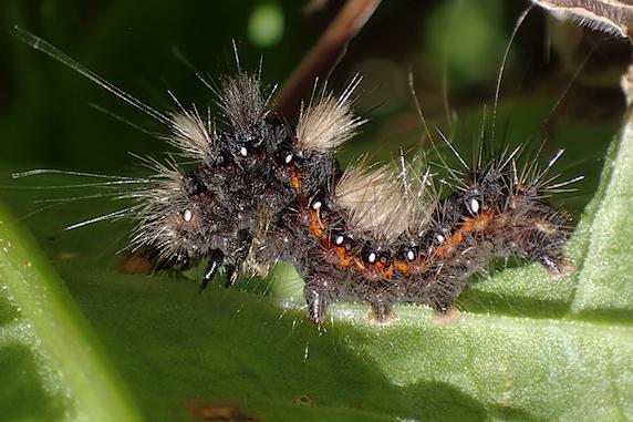 ナシケンモンの幼虫