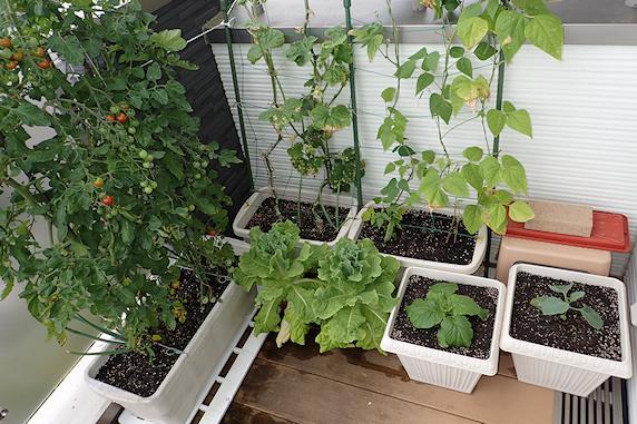 ミニトマトなどの収穫と台風対策