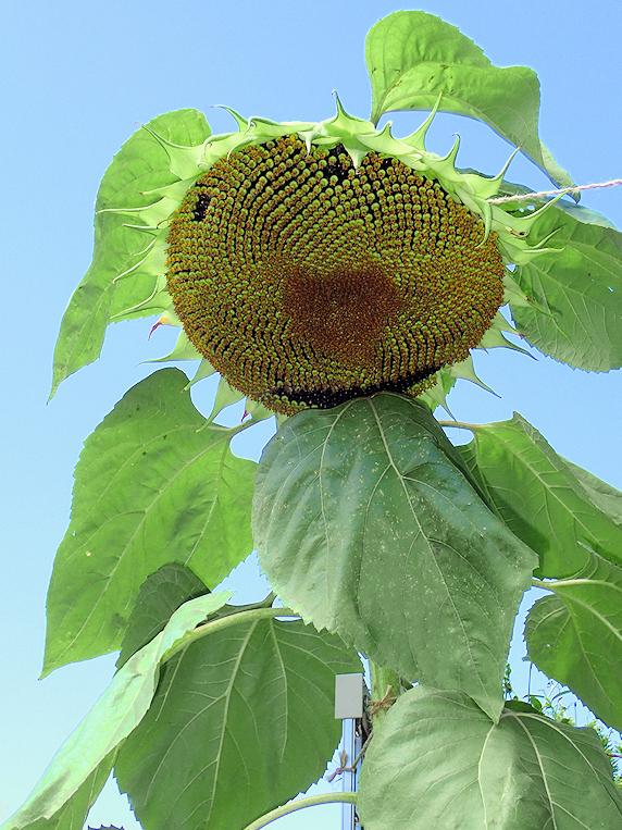 ベランダのミニヒマワリが開花