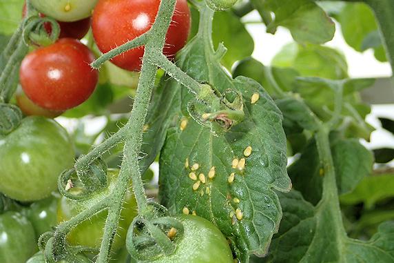 今年も鳥に食べられたミニトマト