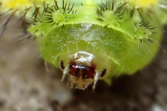 危険!クロシタアオイラガの幼虫