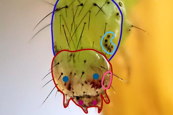 脱皮直前のウワバの幼虫