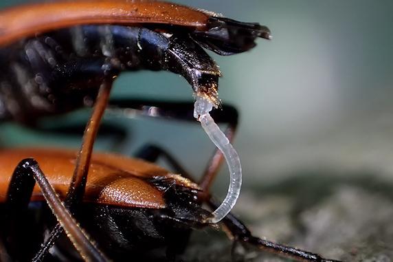アカハナカミキリの交尾