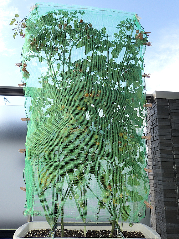 ミニトマトに防鳥ネットを設置
