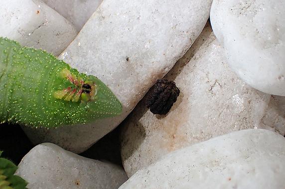 モモスズメの幼虫発見!