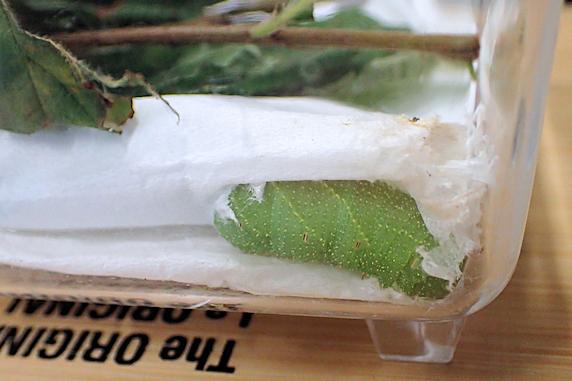 蛹化態勢構築、モモスズメの幼虫