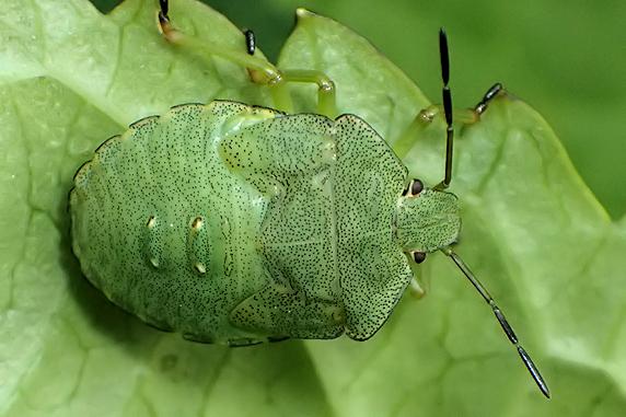 エゾアオカメムシの成虫・幼虫・脱皮殻