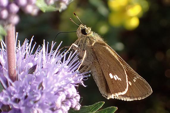 段菊の蜜を吸うイチモンジセセリ