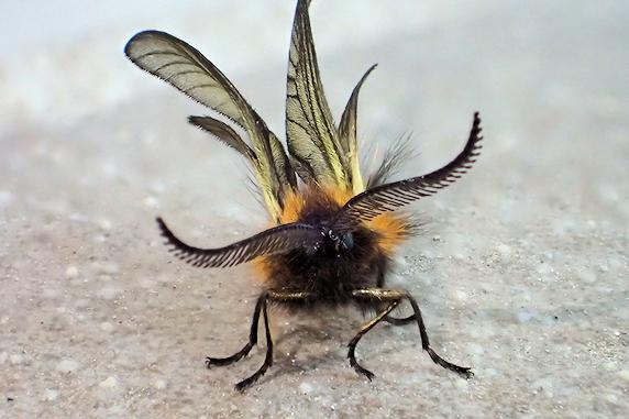 羽化後間もないミノウスバのオス