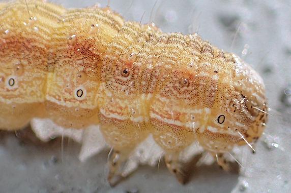 キク科の花を食べる不明幼虫