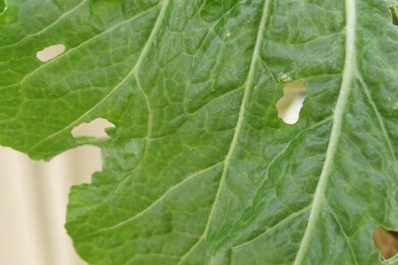 ハクサイとイチゴに幼虫発見