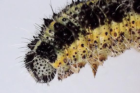 オオモンシロチョウの幼虫と遭遇!