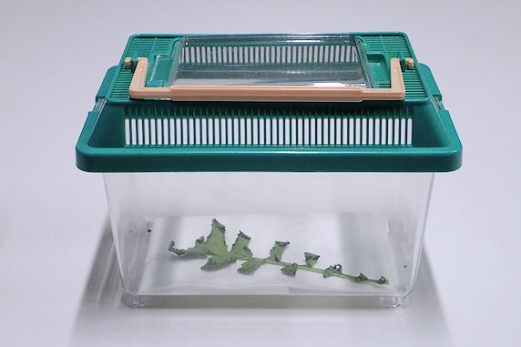 オオモンシロチョウの幼虫が蛹化
